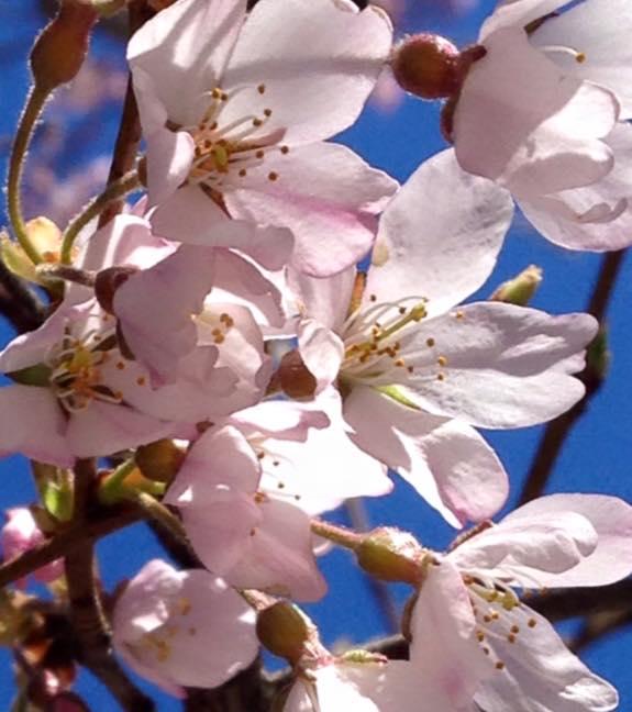 桜とビルと青空